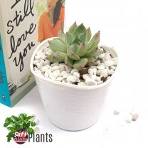 Succulent Natural Plant In Pot (Ghost Plant)