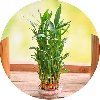 Bamboo Plant Online in Nepal