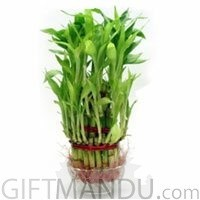 Lucky Bamboo Plant in Clear Glass Vase