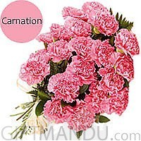 20 Fresh Pink Carnations Bunch